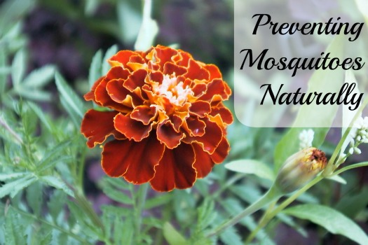 How to Preventing Mosquitoes Naturally