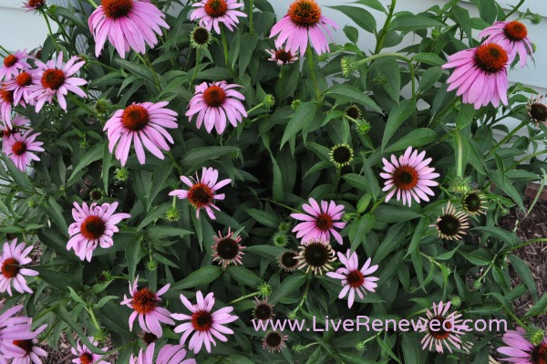 Cone flowers, or Echinacea