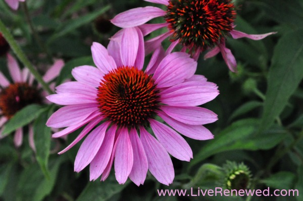Cone flower, or Echinacea