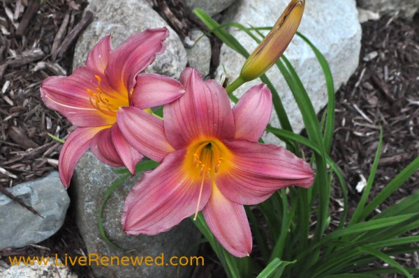 Beautiful Day Lillies in Bloom