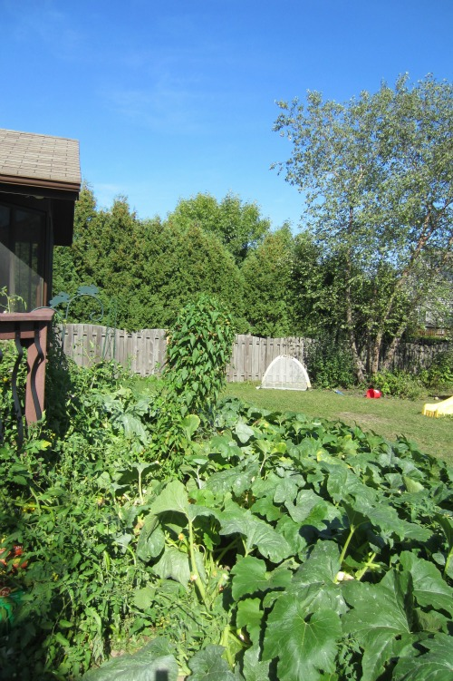 The garden fail!  The composted pumpkins took over the entire garden and yard!
