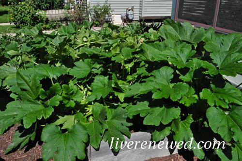 gigantic zucchini plant