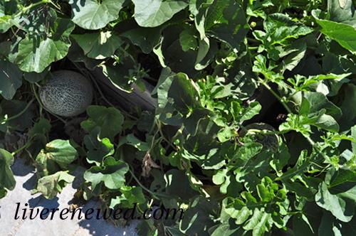 melon on the vine