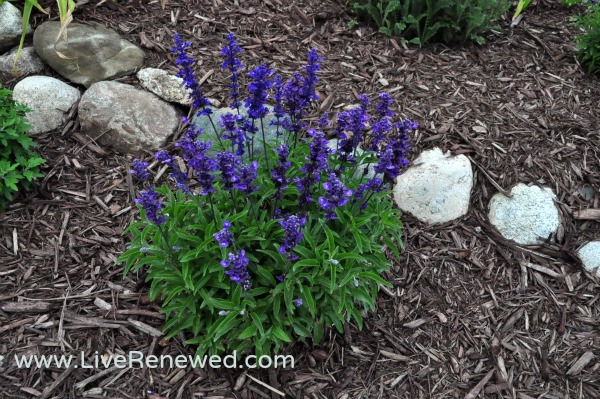Pops of purple in our flower beds